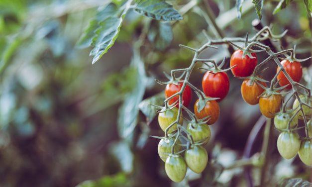 Faire pousser des tomates… même sans potager !